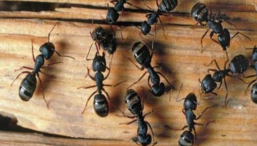 how-to-get-rid-of-carpenter-ants
